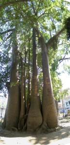 Baobá_panoramico1